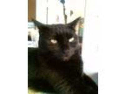 Adopt Blackky a All Black American Shorthair / Mixed cat in Haines City