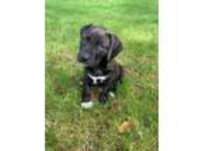 Adopt Cowboy a American Staffordshire Terrier, Pit Bull Terrier