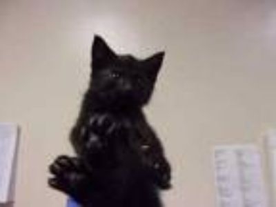 Adopt Big Brave Chicken a All Black Domestic Mediumhair / Domestic Shorthair /