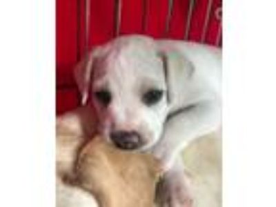 Adopt Cinco de Mayo Litter_Paz a Labrador Retriever, Beagle