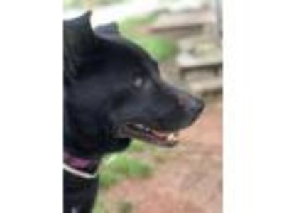 Adopt Knight/Flatwood a Shepherd, Patterdale Terrier / Fell Terrier