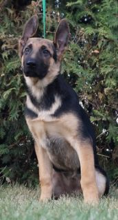 German Shepherd Dog PUPPY FOR SALE ADN-99087 - Amazing AKC German  Shepherd Puppies