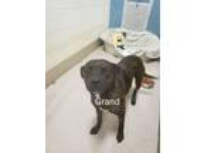 Adopt Grand a Pit Bull Terrier
