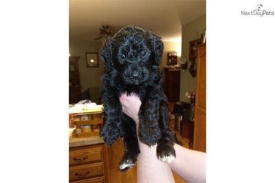 Bernedoodle PUPPY FOR SALE ADN-73287 - Bernedoodle F1 Puppies