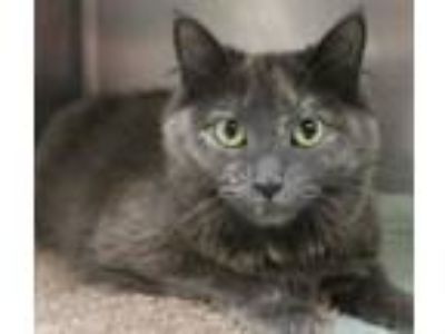 Adopt Misty Morning a Domestic Long Hair, Domestic Short Hair