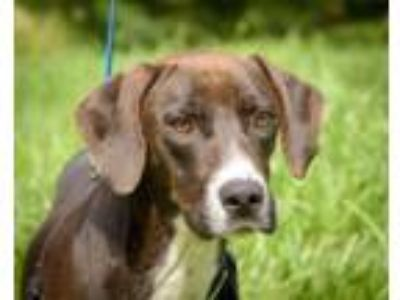 Adopt Sampson a Hound, Mixed Breed