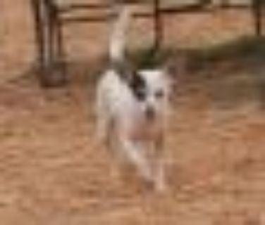 Maya Chihuahua - Rat Terrier Dog