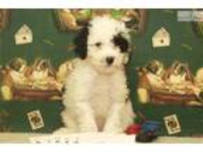 Black and White Male Toy Poodle #11