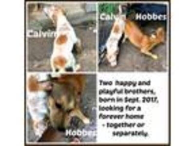 Adopt HOBBES a Tan/Yellow/Fawn - with Black German Shepherd Dog / Black and Tan