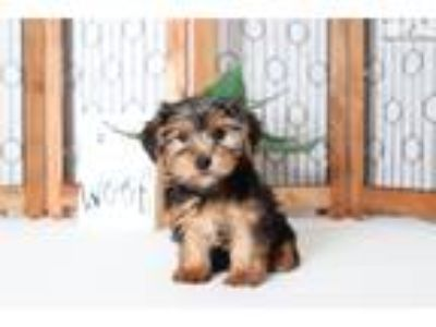 Julius-Gentle Little Male ACA Yorkie Puppy