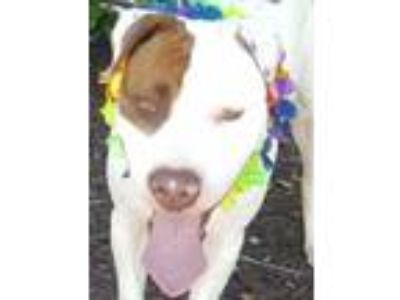 Adopt CoCo a American Staffordshire Terrier
