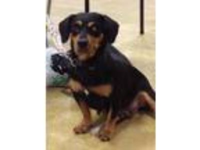 Adopt Nyla a Black Basset Hound / Mixed dog in West Palm Beach, FL (18656144)