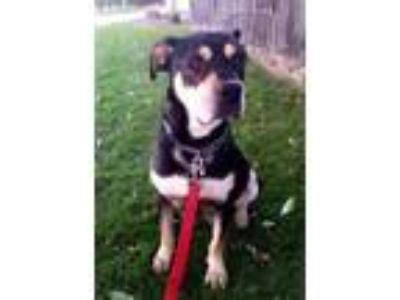 Adopt Brutus a Black Rottweiler / Mixed dog in West Allis, WI (22496290)