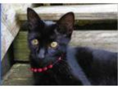 Adopt Penny Lou (In Foster) a Domestic Short Hair
