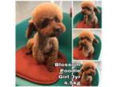 Adopt Blossom from Korea a Red/Golden/Orange/Chestnut Poodle (Miniature) / Mixed