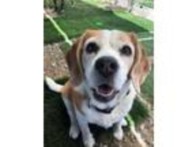 Adopt Lily a Tricolor (Tan/Brown & Black & White) Beagle / Mixed dog in Ventura