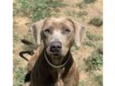 Adopt Baby Doll a Labrador Retriever / Weimaraner / Mixed dog in Jasper