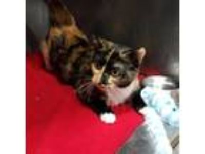 Adopt Hermione a Calico or Dilute Calico Domestic Shorthair cat in Chaska