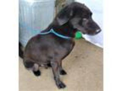Adopt Drago a Black Labrador Retriever / Mixed dog in Grayson, LA (19999897)