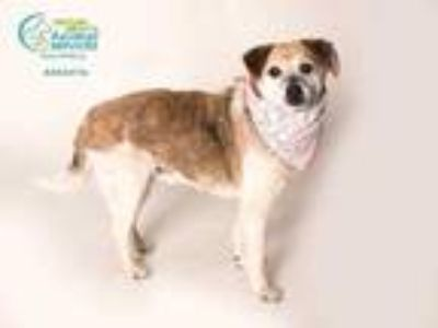 Adopt OSCAR a White - with Brown or Chocolate Jack Russell Terrier / Pug / Mixed