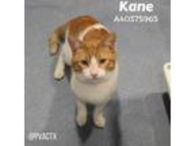Adopt Kane a Orange or Red Domestic Shorthair / Domestic Shorthair / Mixed cat