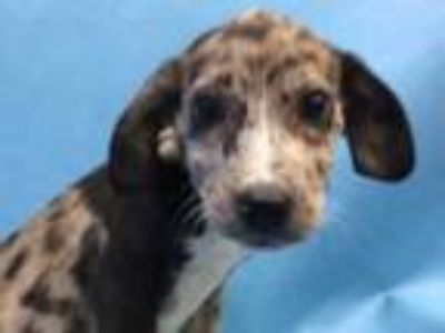 Adopt Molly a Black Catahoula Leopard Dog / Mixed dog in Golden Valley