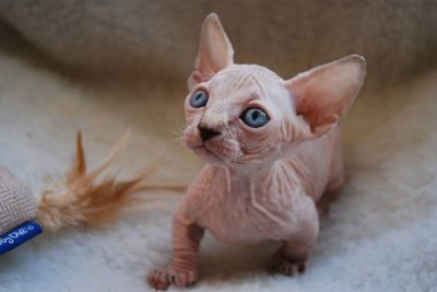 Well trained sphynx kittens for loving homes