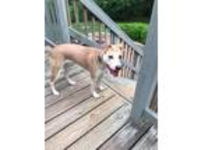 Adopt Ty a Tan/Yellow/Fawn - with White Labrador Retriever / Mixed dog in
