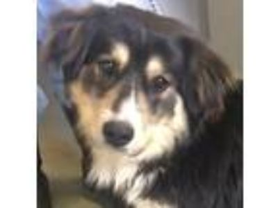 Adopt Anthony a Border Collie, Australian Shepherd