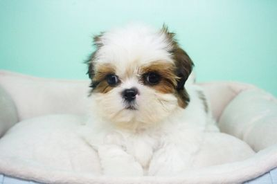 Shihtzu Puppy – Male- Rolex ($1,699) CKC Registered