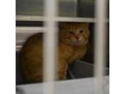 Adopt Dallas a Orange or Red Domestic Shorthair / Domestic Shorthair / Mixed cat