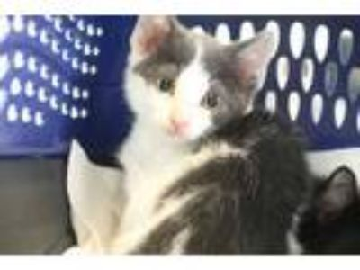 Adopt MONOCHROME a White (Mostly) Domestic Shorthair / Mixed (short coat) cat in