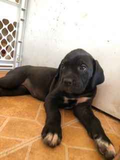 Cane Corso PUPPY FOR SALE ADN-96675 - 9 week old female cane corso