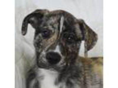 Adopt Stark a Brindle - with White Husky / Great Dane / Mixed dog in Huntley