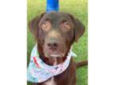 Adopt Lady a Brown/Chocolate Labrador Retriever / Mixed dog in Jacksonville
