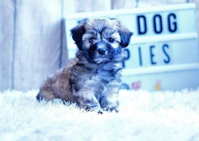 Salt the Shihpoo ($1,300)