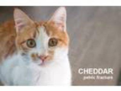 Adopt Cheddar a Domestic Short Hair