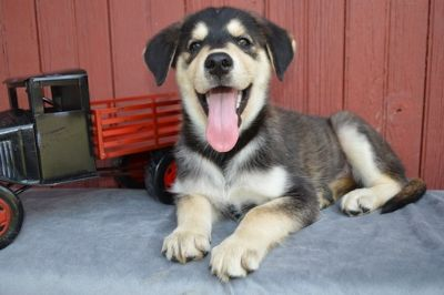 Goberian PUPPY FOR SALE ADN-89412 - Alex