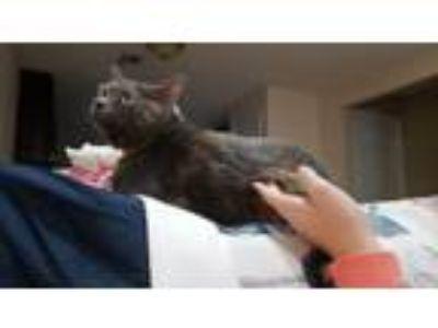 Adopt Nala a Gray or Blue Domestic Mediumhair / Mixed cat in Hinesville