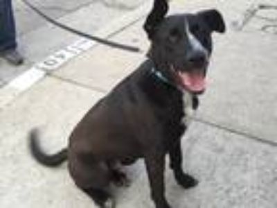 Adopt RYLAN a Black - with White Labrador Retriever / German Shorthaired Pointer