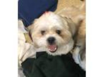 Adopt Moe a White - with Tan, Yellow or Fawn Shih Tzu / Mixed dog in Fallbrook