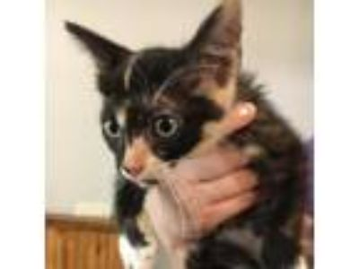 Adopt Peep a Calico or Dilute Calico Domestic Shorthair cat in Bryan