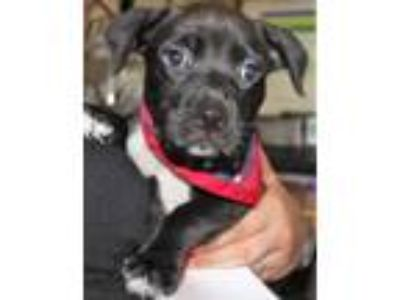 Adopt Blossom a Black Labrador Retriever / Mixed dog in Spartanburg