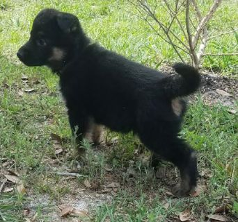 German Shepherd Dog PUPPY FOR SALE ADN-77218 - Female looks for a new forever home