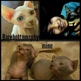#sphynx#kittens#hairless#males#females#barebottomsphynx