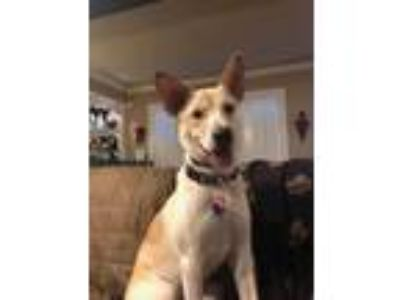 Adopt Hailey (PTSD trained service dog) VETERANS ONLY a White - with Tan
