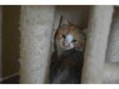 Adopt Bryce a Orange or Red Domestic Shorthair / Domestic Shorthair / Mixed cat