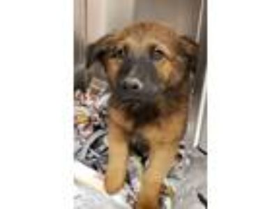 Adopt Toto a Shepherd (Unknown Type) / Chow Chow / Mixed dog in Birmingham