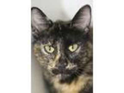 Adopt May a All Black Domestic Shorthair / Mixed cat in Independence