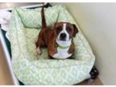Adopt BRUCE a Brindle Beagle / Basset Hound / Mixed dog in Chapel Hill